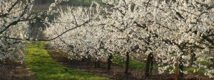 Bentleys Fruit Farm Orchard Blossom