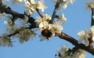 Bentleys Castle Fruit Farm Orchard Bee