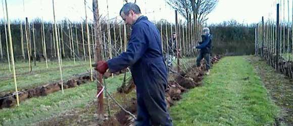Castle Fruit Farm Manager planting new Conference pears