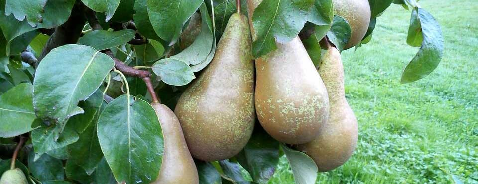 Bentleys Castle Fruit Farm Pears 2