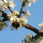 Bentleys-Castle-Fruit-Farm-Orchard-Bee