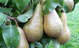 Pears_263